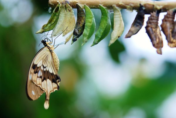 Butterfly emrging out of cocoon